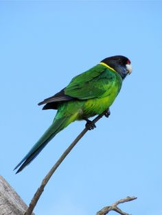 Count on Me - On The Road  The yellow neck is a reminder that the Twenty-eight is a subspecies of the Australian Ringneck.  #28 Parrot Bird #parrot #Twenty-eight #Twenty-eight Parrot #Western Australia #WA #Australian Ringneck