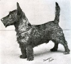 1911 BIS Winner of the Westminster Kennel Club Dog Show - Ch Tickle Em Jock, Scottish Terrier     All photos are from the AKC Archives. Official Westminster photographers through the years