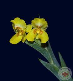 Lockhartia chocoensis