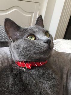 Russian Blue cat. Pati