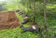 em_um_dos_ataques_varios_animais_foram_mortos3152013184314Chupa_cabra