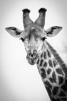 giraffen zwart wit foto's - Google zoeken