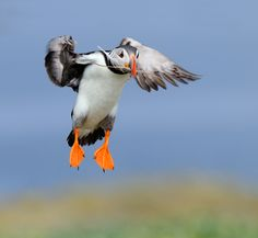***CLICK IMAGE*** March 08, 2011 - While the whole bunch of Puffins came in with fish for there chickens this one seemed a little confused and came in with nesting material. Shot taken on the Farne Islands near the East coast of England.   Thanks and best regards, Harry