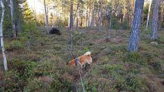 Shiba i skogen