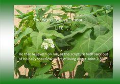 Chaya Life Chaya Plant, John 7 38, Living Water, Herbs, Organic, Plants, Life, Herb, Plant