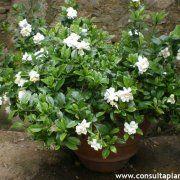Gardenia Jasminoides Gardenia O Jazmin Del Cabo In 2020 Dream
