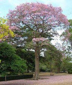 """""""Maquilishuat es conocido como roble morado o palo de rosa y es el árbol nacional de El Salvador"""