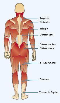 Imagen de los músculos del cuerpo humano en su cara posterior