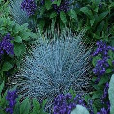 100+ Blue Fescue Ornamental Grass Seeds , Under The Sun Seeds