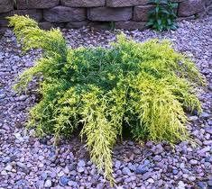 Gold Lace Juniper Juniperus chinensis Gold Lace P.P.# 8202 beautiful gold foliage is excellent in all seasons, brighter yellow in summer and in full sun. Perfect for foundation planting, or in shrub b