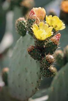Prickly pear cactus care.