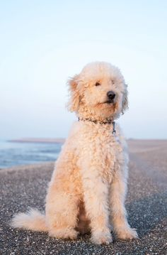 goldendoodle coat care Goldendoodle Grooming, Curls No Heat, Pets, No Heat Curl, Animals And Pets