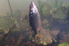 Grundangeln mit auftreibendem Köderfisch