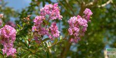 La taille du lilas des Indes s'effectue en mars. Elle favorise la production de grappes de fleurs l'été suivant. Découvrez comment tailler le Lagerstroemia ?