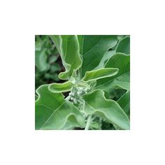 ashwagandha, semillas de Withania somnifera en venta para crecer. #ashwagandha #withania