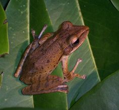 Scientists learn from frogs how to scure graphene sheets to wafers.