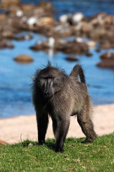 Male Chacma Baboon by Baboon Matters Baboon, African Animals, Primates, Animals Beautiful, Monkeys, Jumpsuits, Cutest Animals, Primate