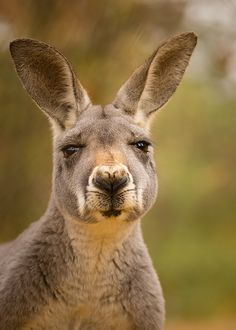 Cute Australian Animals Pictures that Can Melt Your Heart [So Cute] - NvH Reptiles, Mammals, Animals And Pets, Cute Animals, Strange Animals, Tier Fotos, Mundo Animal, Animal Faces, Pet Birds