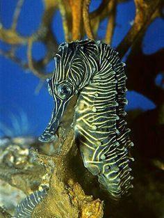 Flat-faced seahorse, longnose seahorse, low-crowned seahorse, or three-spot se … Underwater Creatures, Underwater Life, Ocean Creatures, Beautiful Sea Creatures, Animals Beautiful, Fauna Marina, Life Under The Sea, Beneath The Sea, Sea Dragon