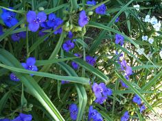 Florida SPIDERWORT.  The young leaves and stems, which taste like green beans, can be used in salads, added to soups, or boiled and served as a vegetable. Cherokees and Creek's parboiled or fried T. virginiana (a close relative of T. Ohiensis) and mixed it with other greens. The Timucua of Florida did the same with Ohiensis. The purple flowers make quite a conversation piece when sprinkled atop a green salad or a fruit salad for a dinner party or candied for spectacular desserts toppings.