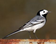 LATVIA: The White Wagtail (Motacilla alba) is a small passerine bird in the wagtail family, which also includes the pipits and longclaws. This species breeds in much of Europe and Asia and parts of north Africa. It is resident in the mildest parts of its range, but otherwise migrates to Africa.