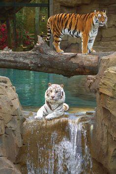 Beautiful Cats, Big And Beautiful, Animals Beautiful, Funny Photos, Cool Photos, Amazing Photos, Tiger Cub, Big Cats, Places To Travel
