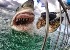 Great white shark strikes stunning pose for cameraman off Australia