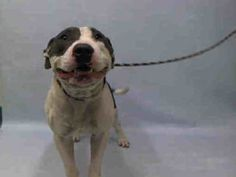 RUAB – A1090881 MALE, GRAY / WHITE, PIT BULL MIX, 2 yrs STRAY – EVALUATE, NO HOLD Reason STRAY Intake condition UNSPECIFIE Intake Date 09/23/2016, From NY 11411, DueOut Date09/26/2016