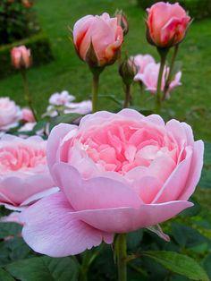 Lovely Pink Rose Garden