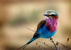 Lilac Breasted Roller by Rahul Matthan on 500px