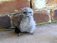 Angry Baby Owl