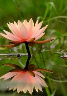 Water lily and reflection. photo: boti.