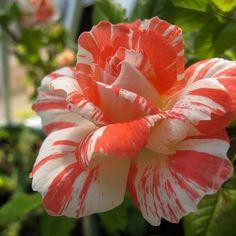 กุหลาบ ส้ม-ขาว