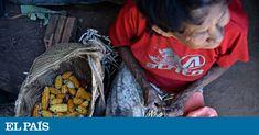 É que plantar árvores frutíferas, mandioca, arroz e milho significa fazer crescer sombras, água, animais, organização e, em última instância, vida. E, nesse caminho, destacaram-se as mulheres Xavante, que tradicionalmente colhem sementes.  Com esses apoios, desde 2011 as mulheres coletoras Xavante aderiram à Rede de Sementes do Xingu, onde diferentes povos indígenas e comunidades camponesas recuperam a trocam uma diversidade importante de sementes.