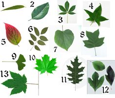 How To Identify Deciduous Trees By Their Leaves Trees