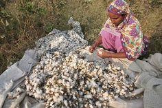 Monsanto Threatens to Pull GMO Cotton Technology From India http://news.organicfoodmaps.com/Ql  More news @ http://organicfoodreport.com  #news #organic #gmo