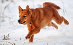 Spitz Dog Breeds, Spitz Dogs, Stop Animal Testing, Husky, Corgi, Pets, Minden, Young Justice, Wolves