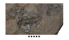 Bristolia bristolensis Cadiz, California, Latham Shale Early Cambrian (Toyonian) Ollenellid | Museum of Natural and Cultural History