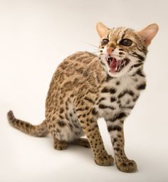 Cat Training With a Clicker Asian Leopard Cat, Cheetah, Kurt Seyit And Sura, Small Wild Cats, Bond Issue, Military Intervention, Singular, Serval, Cats For Sale