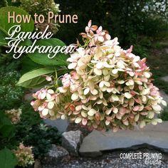 How to Prune Panicle Hydrangeas