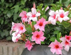 Full Sun Flowers, Amazing Flowers, Balcony Garden, Garden Plants, Climing Plants, Climbing Flowers, Flamingo, Exotic, Green