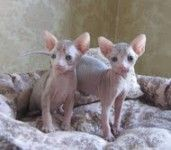 Ocelot, Sphynx and Caracal Kittens Available