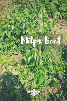 ethnobotanisch bedeutsamen Getreidearten Getreide-Sortiment Samen-Geschenkset mit 3 alten