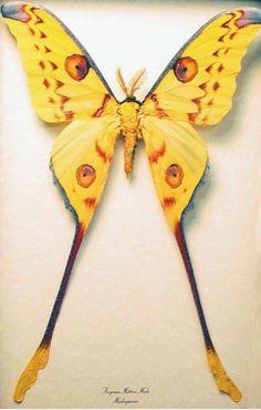 Long Tail Luna Moth  Argema mittrei