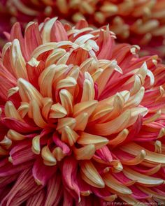 A few days ago, I spent a morning photographing Chrysanthemums at Longwood Gardens.