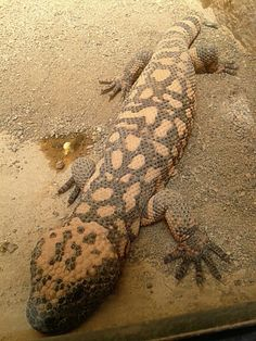 Lizard !