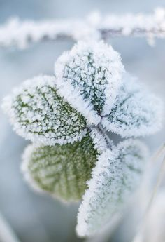 Winter is coming... icy frost on green leaves