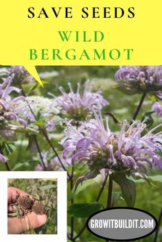 How To Save Wild Bergamot Seed – GrowIt BuildIT