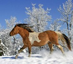 winter photo of American Curly mare, TFN Warrior's Apo Hopa.