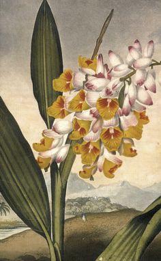 Vintage Ephemera: Botanical plate, Orchid - 1812